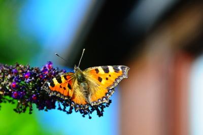 Schmetterling auf Staude