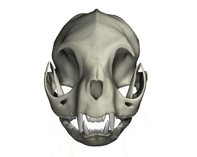 Katzenschädel frontal
