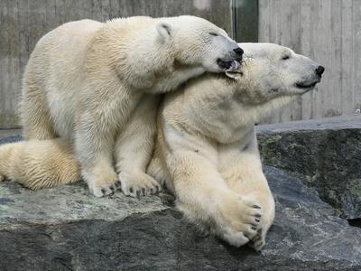 Eisbären beim kuscheln 2