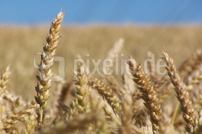 Ähren auf einem Weizenfeld