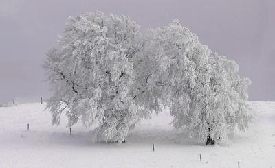 Schneebaum auf dem Schauinsland