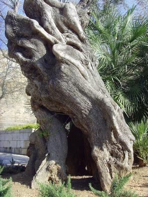 Uralt Olivenbaum in Palma de Mallorca