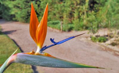 Paradiesvogelblume im botanischen Garten