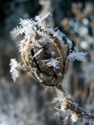 Gefrostete Hibiskus-Samenkapsel