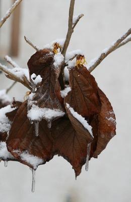 zaubernuss im winterkleid...