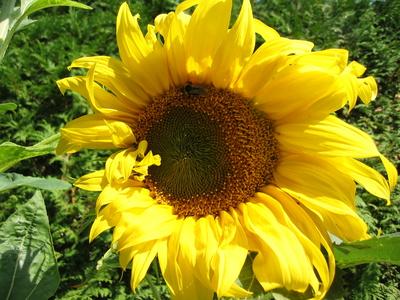 Riesen Sonnenblume  Suchbild