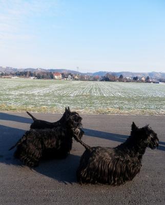 Scottish Terrier - ein starkes Damen-Trio