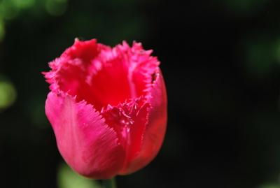 leuchtende rosa Tulpe