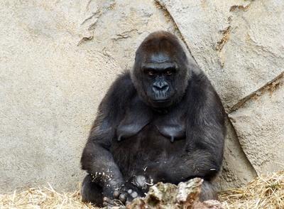 Gorilla-Mama