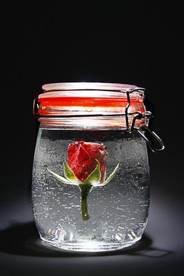 konservierte rose