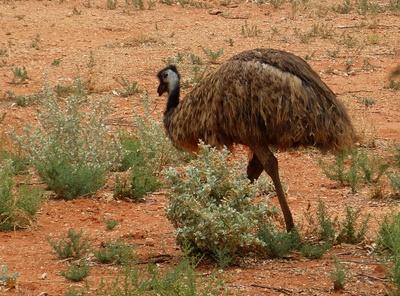 Emu 1