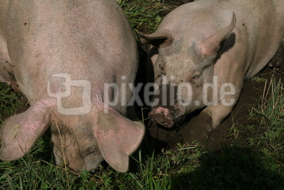 Hausschweine in Freilandhaltung