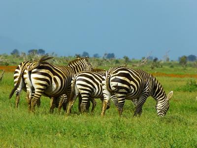Zebras aus Kenia