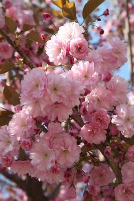 Üppige Blütenpracht - Zierkirsche