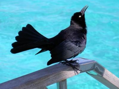 Gefiederter Freund in der Karibik