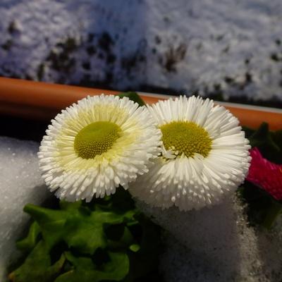 Gefüllte weiße Gänseblümchen
