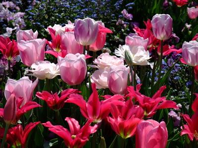 Tulpen rosa / rot