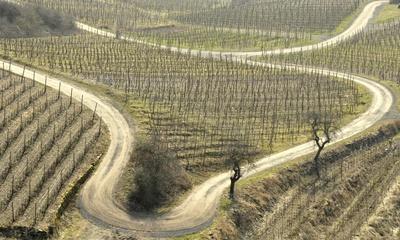 Weinstöcke im Frühjahr