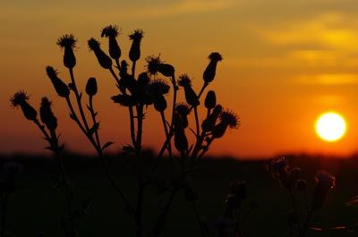 Disteln vor Sonnenuntergang