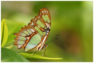 Schmetterling2