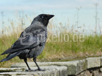 Blue eyed crow 1
