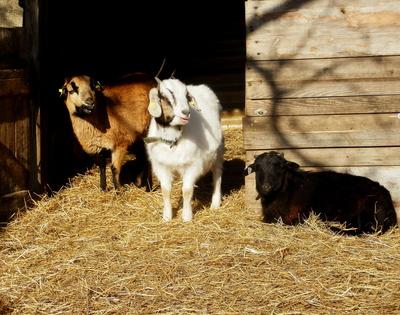 Schaf- und Ziegenböckchen in der Wintermorgensonne