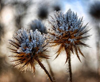 Behaarte Karde im Winter