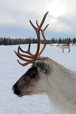 Rentier, Finnisch Lappland
