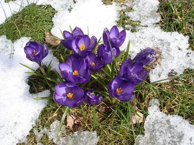 Endlich Frühling - KroKuss