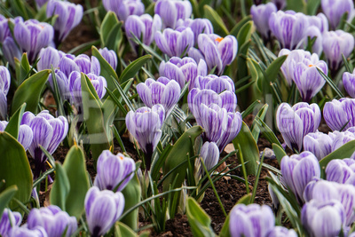 Krokus lila 1