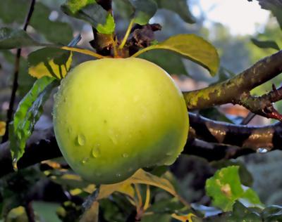 WS grüner Apfel...