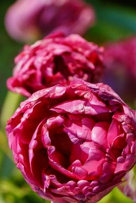 Opulentes Tulpen-Epos