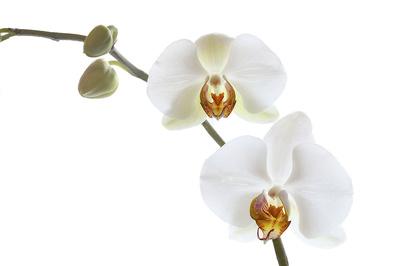 Weisse Orchidee Low Key