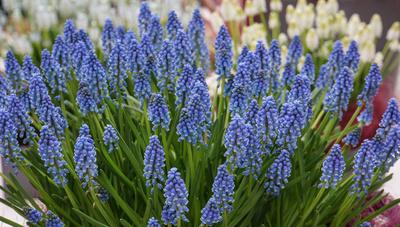 Explodierendes Frühlingsblau (Traubenhyazinthen)