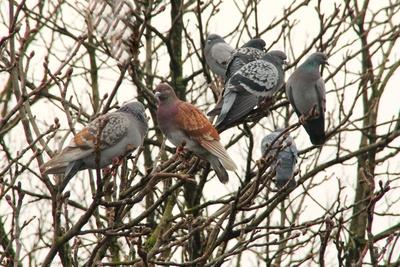 Tauben.Baum 02
