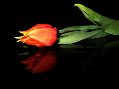 Tulpe auf schwarzem Lackleder :-)
