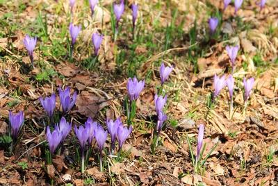 Gebirgskrokusse im Frühlingslicht