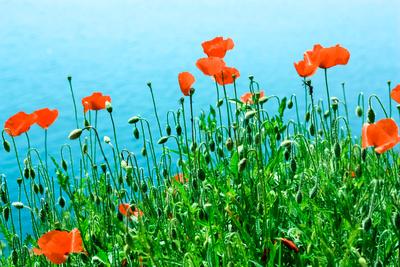 Kleine Mohnblumen