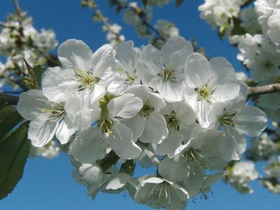 Weiße Kirschblüten unter blauem Himmel