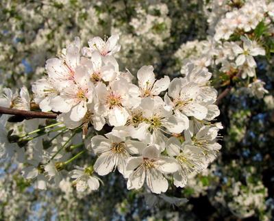 Blühender Kirschzweig