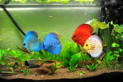 Kostenloses foto diskus aquarium for Diskus aquarium