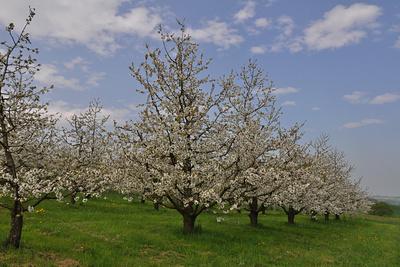 In Reih und Glied: Kirschbäume