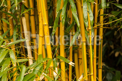 kostenloses foto exotische bambus gr ser 2. Black Bedroom Furniture Sets. Home Design Ideas