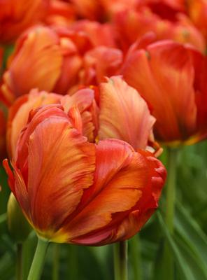 Tulpen - wie ein Gemälde