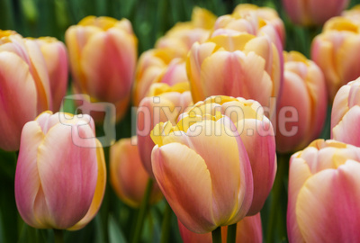 Tulpen-Dschungel
