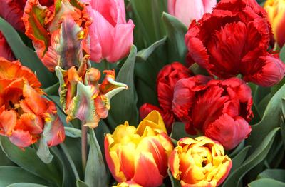 Tulpen-Kreationen