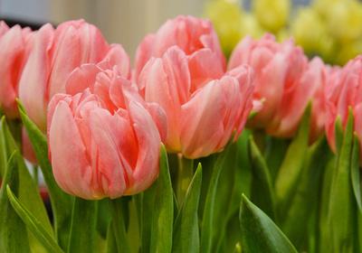 Tulpen-Traum in lachs-rosa 2