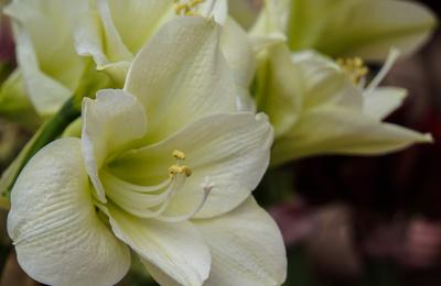 Lilienblüten in weiss