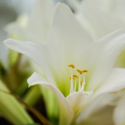 weisse Lilien 2