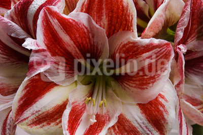 Lilienblüte dynamisch rot-weiss